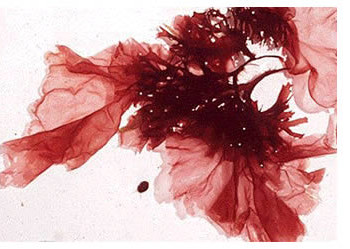 alghe-rosse