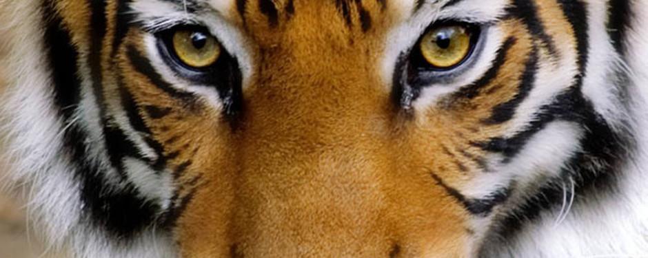 tigre-3